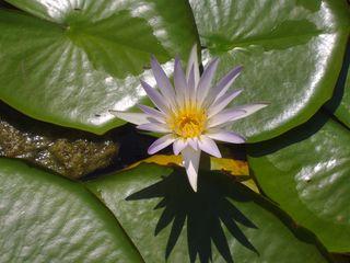 蓮の花カイロの